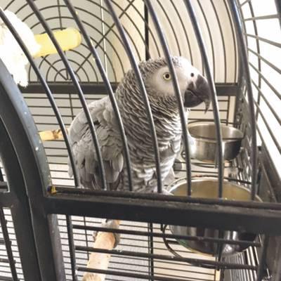 Der Tiroler Papagei